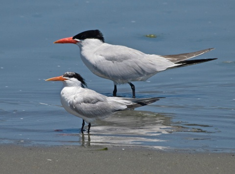 Comparing Caspian and Royal Terns  BirdQuiznet