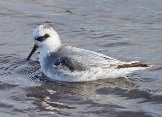 Red Phalarope Cornell Red Phalarope